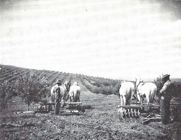 Picture of The Lambert orchard