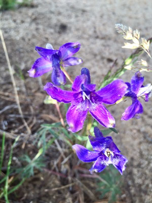 Picture of Larkspur flower on Spruce Mountain