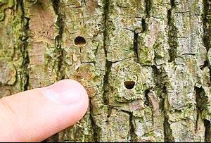 Photo of Ash tree bark with Emerald Ash Borer