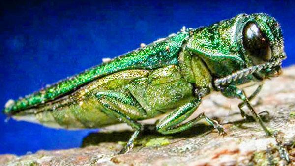 Photo of emerald ash borer
