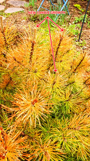 Photo of candle growth on mugo pine