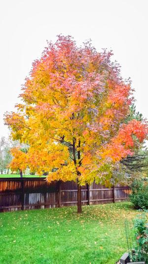 photo of healthy Ash Tree