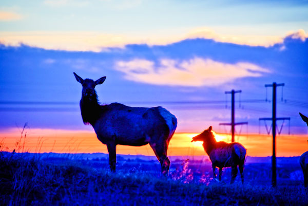 Photo of elk at sunset.