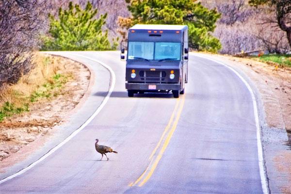 Photo of wild turkey slowing down UPS truck