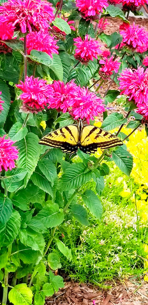Photo or swallowtail butterfly on a bee balm