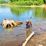 Phoro of chocolate lab in water