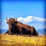 Photo of buffalo