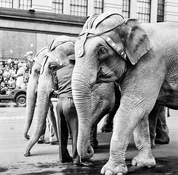 Photo of elephants at Macy's parade NY