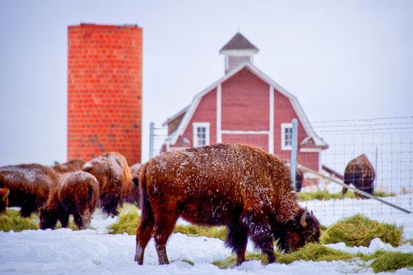 Photo of Daniels Park bison herd grazing