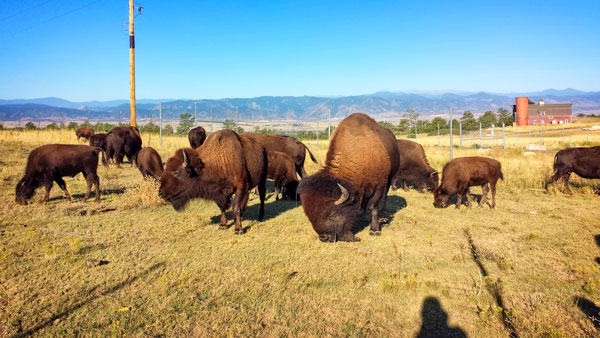 Photo of Bison at Daniels Park