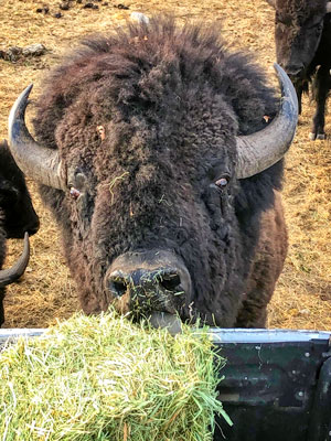 Photo Rawhide, the herd's largest bull bison