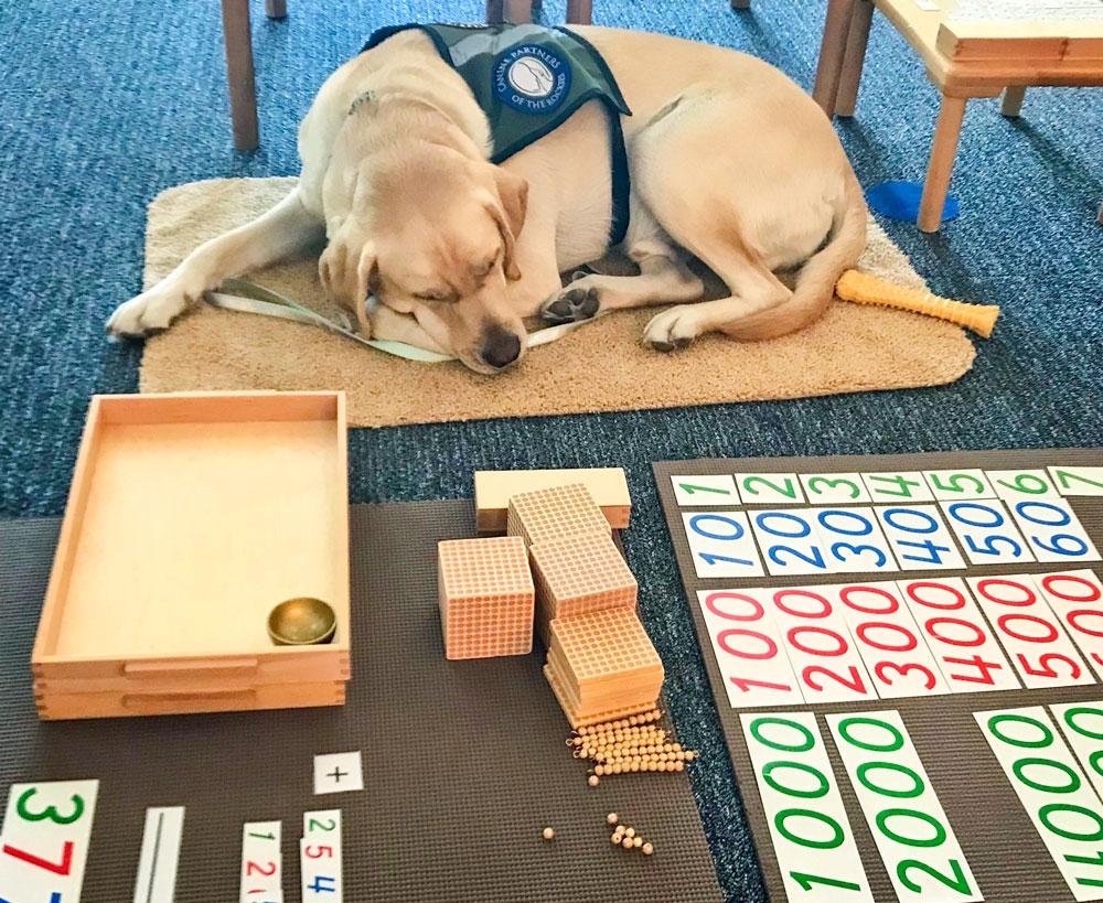 Photo of DCS Montessori service dog