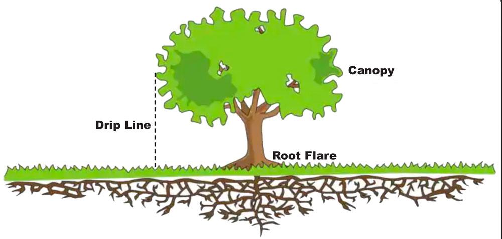 Photo of Tree Drip Line area
