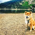Photo of Shiba Inu dog