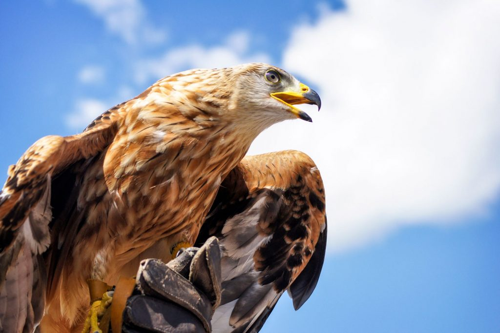 Photo of a golden eagle.