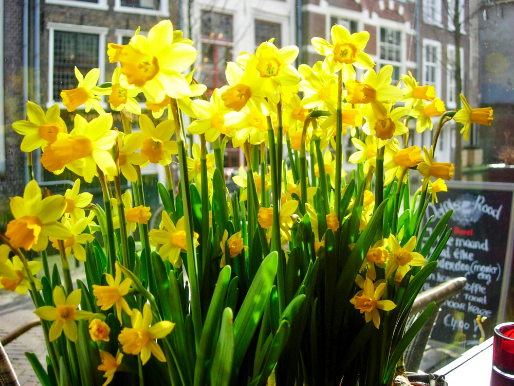 Photo of daffodils in Delft.