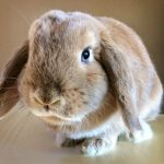 Photo of Carmel is one of the smallest lop-eared rabbit breeds