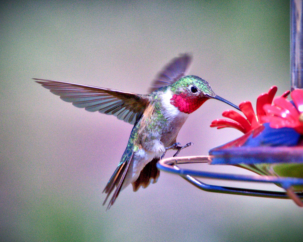 Photo of broad-tailed hummingbird