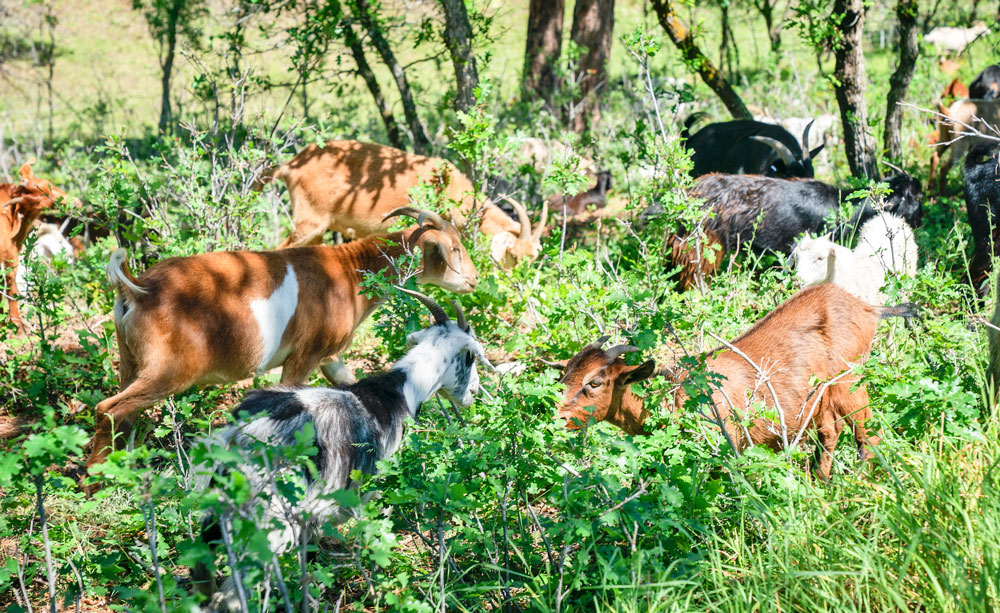 Photo of goats grazing is an effective fire mitigation strategy.