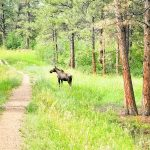 Photo of juvenile moose