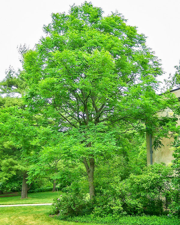 Photo of Kentucky coffeetree