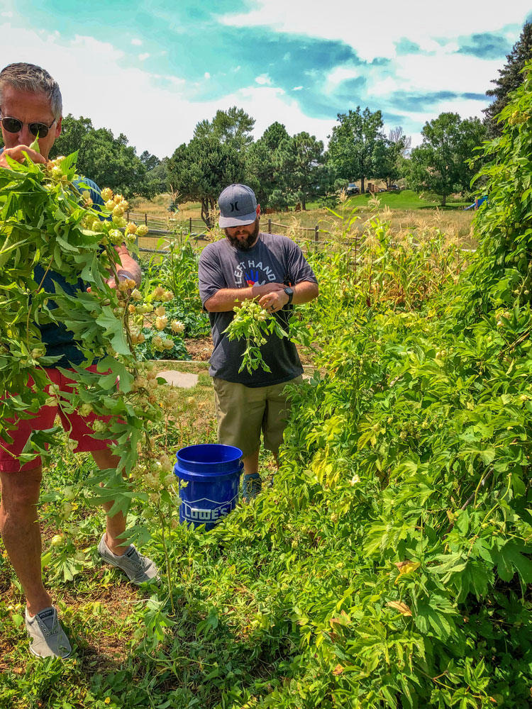 Photo of Jim Denier and Dave Comer inspect the hops