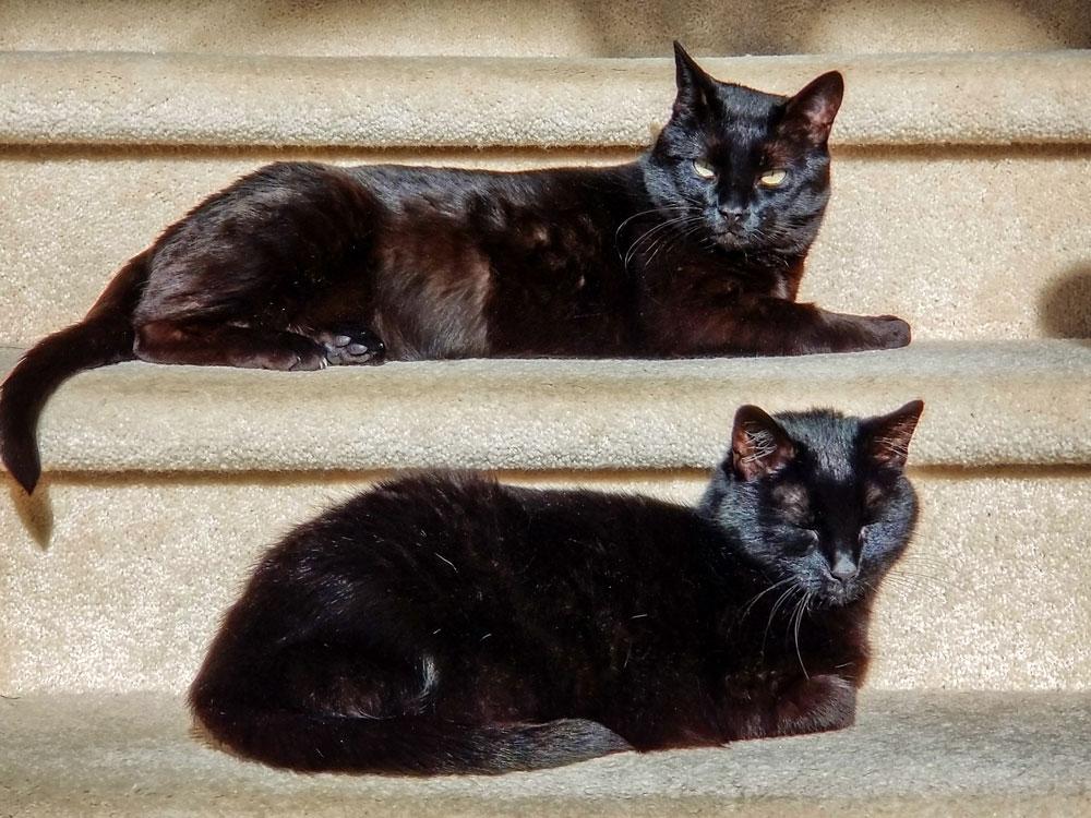 Photo of Cori and Cali black cats.
